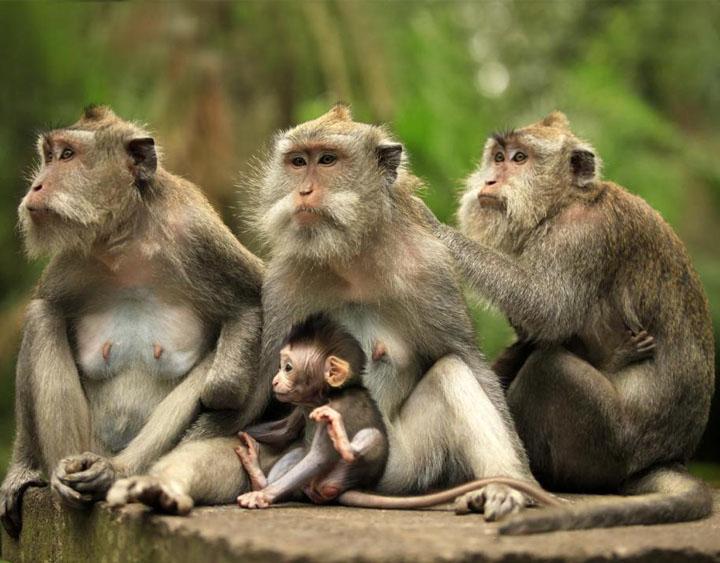 Monkey Forest at Kedaton